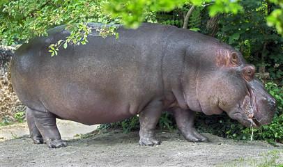 Hippopotamus. Latin name - Hippopotamus amphibius