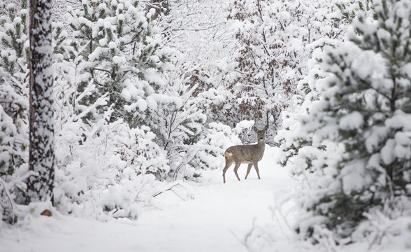 young deer in winter forest
