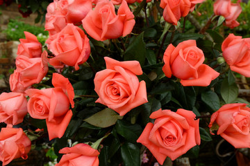 Rose flowers blooming for background.