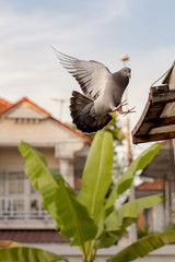 homing pigeon bird flying at home loft