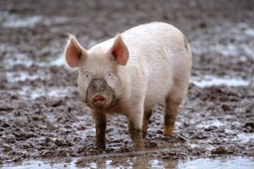 Schweine in Freilandhaltung - Biofleisch