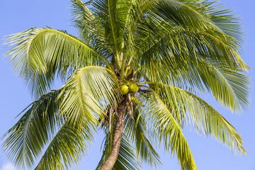 Coconut palm tree against the blue sky ,Thailand