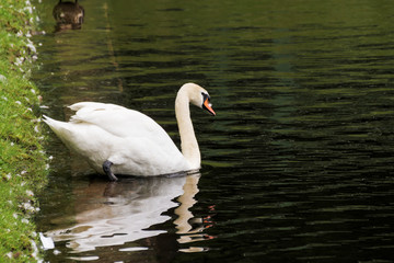 The swan descends into the water.