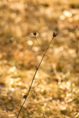 Dry thistle, common thistle, on spring - autumn background.