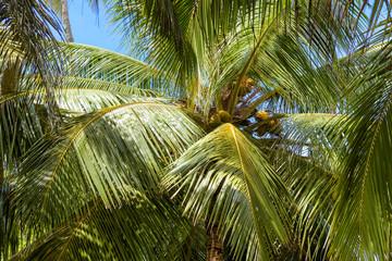 Сoconut palm background