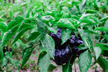 black bell peppers in the garden