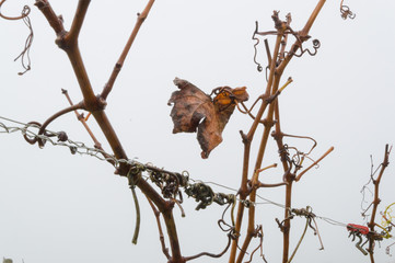 last withered leaf of wine