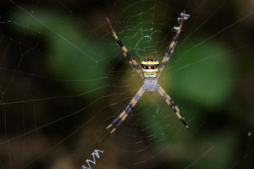 Image of multi-coloured argiope spider (Argiope pulchellla. ) in the net. Insect Animal