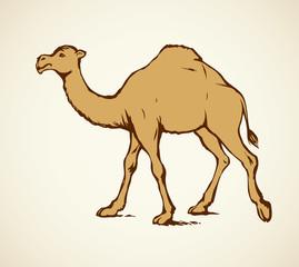 Camel. Vector sketch