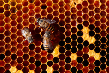 Beautiful Bees on honeycomb. Close-up of bees on honeycomb in apiary in the summer.