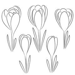 vector contour crocus flower set