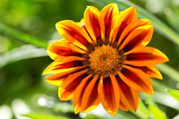 gazania flower or african daisy in a garden