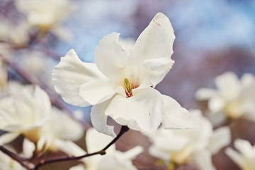 White big Magnolia