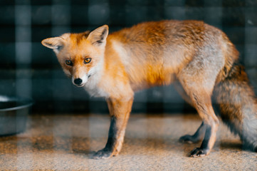 Young red european fox baby in captivity in zoo. Mammal puppy looking different ways behind lattice. Cute and lovely scared animal with sly, smart narrow eyes standing in cage in europe.
