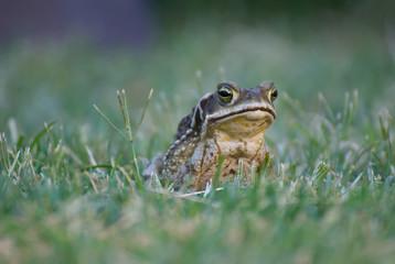 Big frog enjoying the nature after the rain