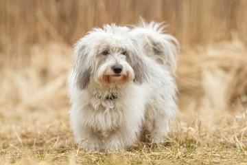 Coton de Tulear dog