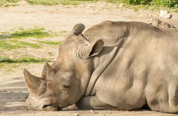rhinocero head closeup