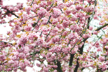 Spring pink cherry blossom