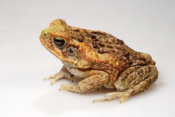Aga-Kröte (Rhinella marina) - Cane toad - Freisteller