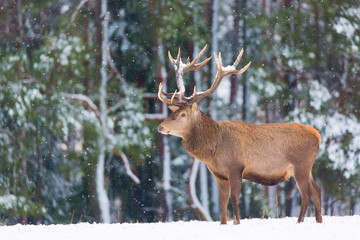 Single adult noble deer with big beautiful horns with snow on winter forest background. European wildlife landscape with snow and deer with big antlers.