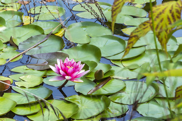 Pink Lotus flower blooms above the water surface