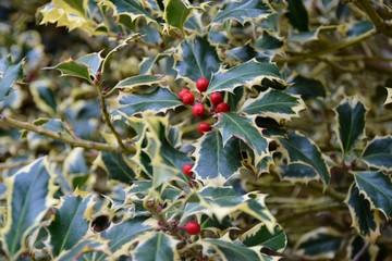Agrifoglio variegato con frutti rossi