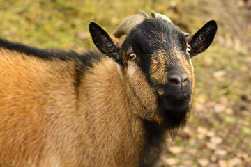 Portrait of a brown goat with big horns