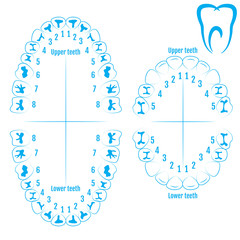 Orthodontist human tooth anatomy vector with numbering of teeth of an adult and a child. Medical dental illustration