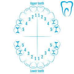 Orthodontist human tooth anatomy vector with numbering of teeth of an child. Medical dental illustration