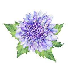 Beautiful purple Dahlia flower. Garden closeup dahlia flower. For wedding, invitation, Valentine's Day, Mother's Day. Watercolor hand drawn painting illustration isolated on white background.