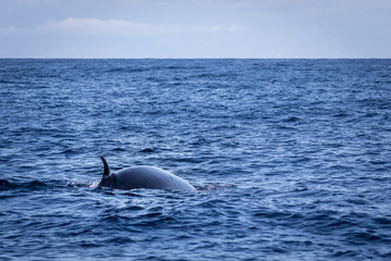 Brydes whale, Balaenoptera brydei,showing its dorsal fin in the Atlantic ocean near Gran Canaria.