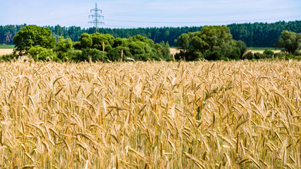 ripe rye on field Bavaria in summer day