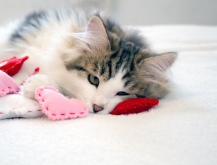 Lonely brown and white tabby kitten laying with pink and red hearts. Concepts of love, valentine's day, thinking of you. Kitty is a Siberian Forest Cat