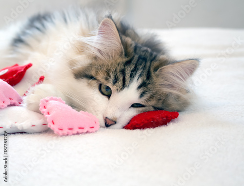 lonely brown and white tabby kitten laying with pink and red hearts