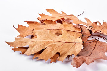 Group of dry maple leaves, white background. Autumn brown leaves isolated on white background. Beautiful nature product.