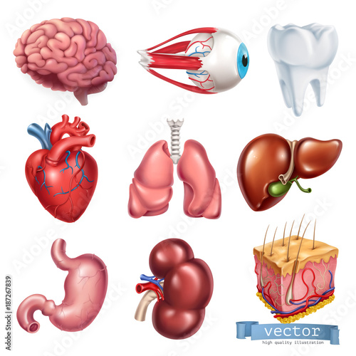 picture of kidney organs image collections
