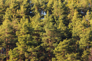 Pine trees forest at evening sunlight background