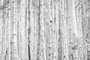 Black and white aspen trees make a natural background texture pattern in Colorado mountain forest...