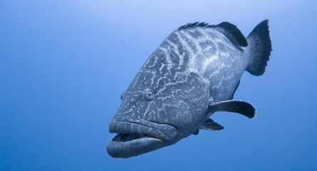 Yellow Mouth Grouper