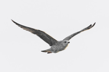 flying seagull (isolated).