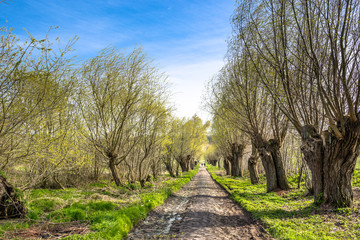 Fresh green spring landscape with tree alley or country road