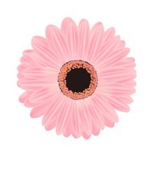 ピンクのガーベラのイラスト