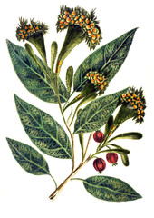 Botanical illustration.