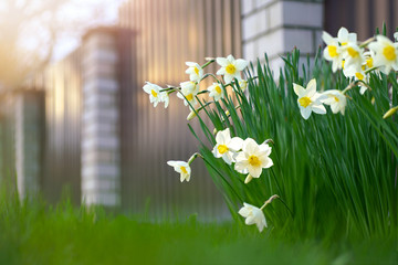A beautiful flowerbed with daffodil flowers in the spring on a garden plot near the fence in the rays of sunshine. There is free space for text.