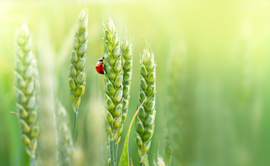 Juicy fresh ears of young green wheat and ladybug on nature in spring summer field close-up of macro with free space for text. Wall mural