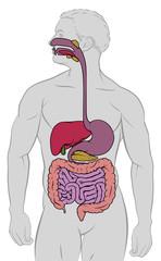 Gastrointestinal Digestive Tract Anatomy Diagram