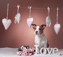 Cute Jack Russell Terrier. Valentine's day
