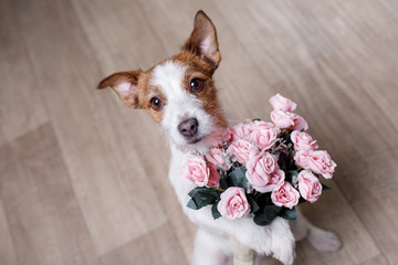 Jack Russell Terrier with flowers. Valentine's day
