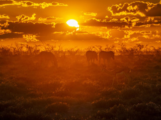 A group of zebras and springbock searching for food during an amazing african sunset