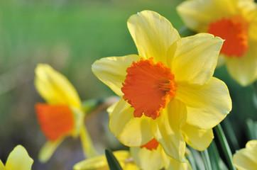 closeup  on beautiful daffodil in garden